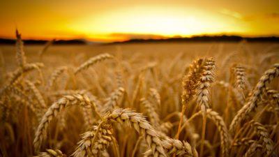 поле_урожай
