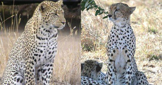 сравнение с леопардом