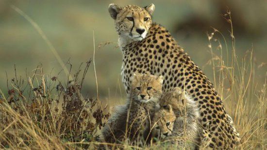 Мама хищник с детенышами