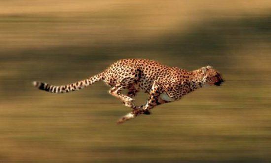 Скорость животного