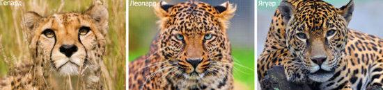 Морды леопард, ягуар