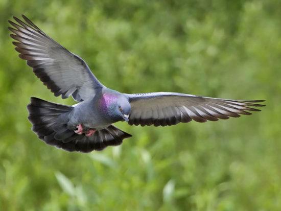 голубь в полете