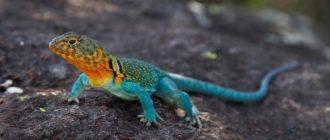 разноцветная ящерица